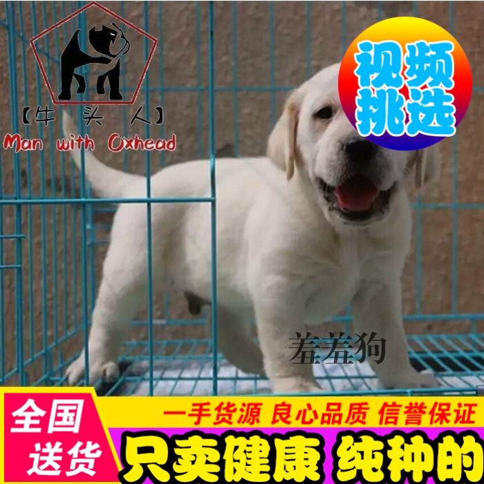 出售纯种拉布拉多幼犬导盲猎犬棕色拉不拉多精品幼犬宠物狗狗