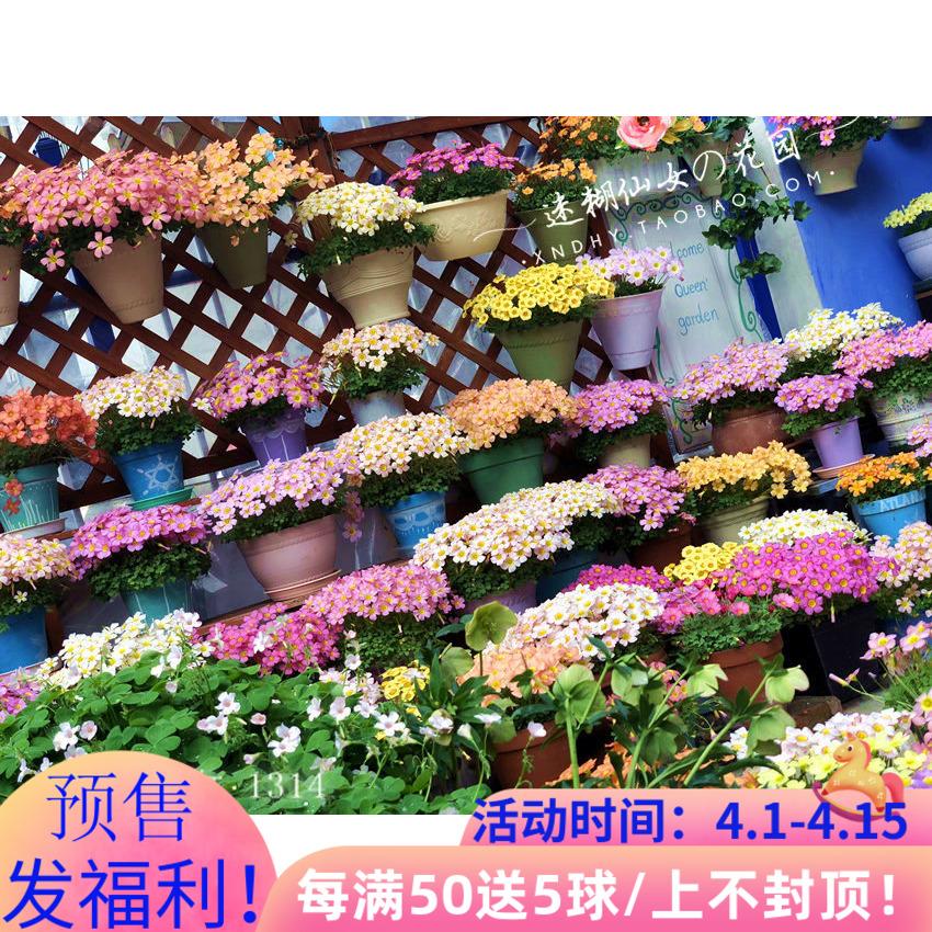 预售【迷糊仙女家/掌柜推荐合集】OB酢浆草种球oxalis幸运三叶草
