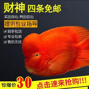 中大型鱼热带观赏鱼财神鱼鼓头鹦鹉鱼活体鱼招财鱼淡水发财鱼包邮