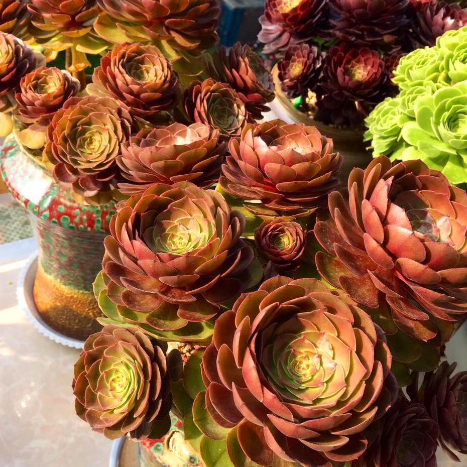 万圣节法师沙拉碗黑法师植物铜壶玫瑰缀化超萌多肉有间花舍包邮