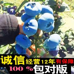 蓝莓苗南方北方室内庭院种植绿植水果盆栽树苗木包邮带果发货四季