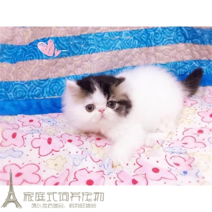 Garfield pet cat live pure short haired kitten cub red white black Sanhua Jingfan chalk character powder claw G