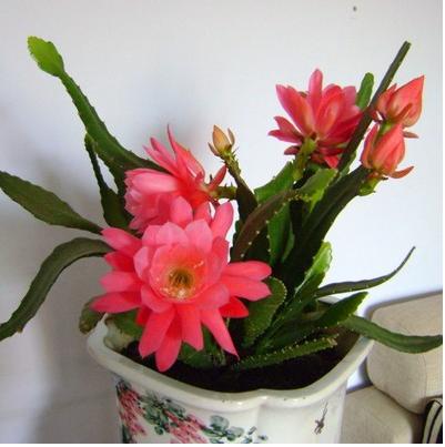 昙花一现盆栽花卉室内多肉植物 叶片扦插带根发货昙花更好看
