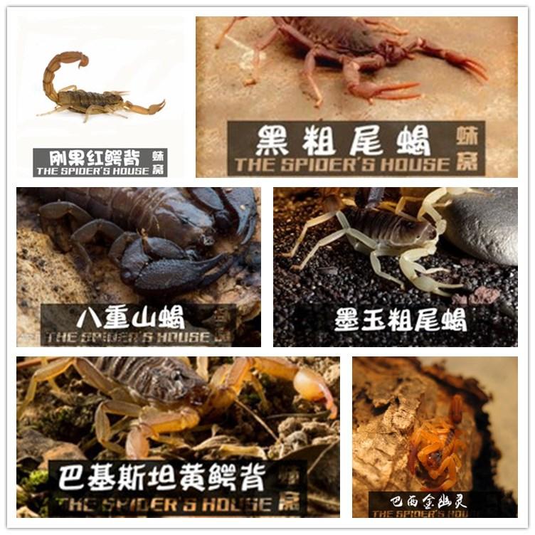 八重山双针红鳄背红E黑粗青玉墨玉AAT黄肥尾蝎宠物蝎子合集
