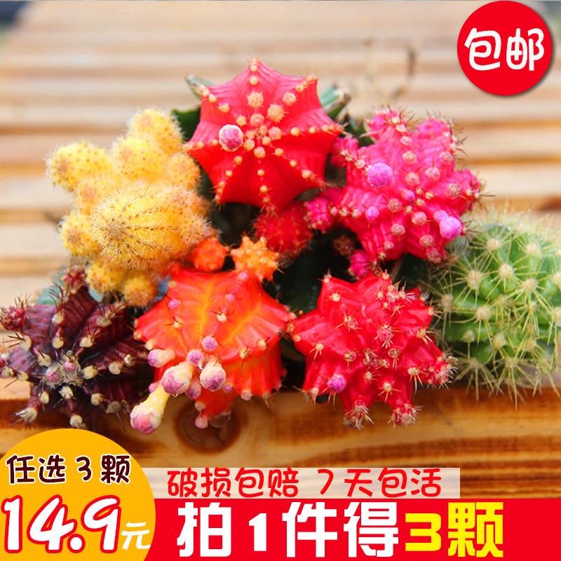 彩色仙人球组合盆栽室内仙人柱嫁接仙人掌类开花品种多肉植物套装