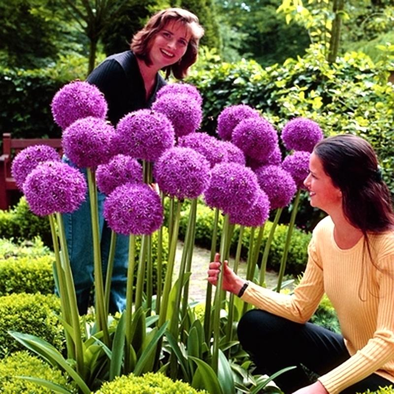 Цветочные луковицы Артикул 606164728792
