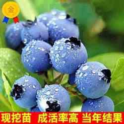 蓝莓盆栽果树果苗当年结果兔眼蓝莓苗包邮四季蓝莓树苗北南方种植
