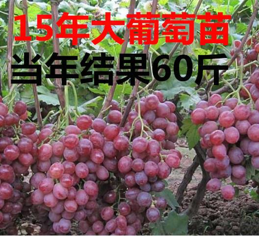 十五年のブドウの苗は当時、ブドウの巨峰、ブドウの苗木を植えた。南の北方で栽培された。