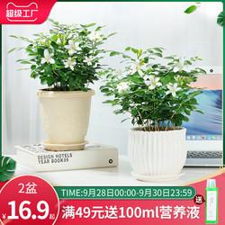 九里香花卉盆栽室内办公室桌面浓香四季七里香苗水培植物盆景绿植