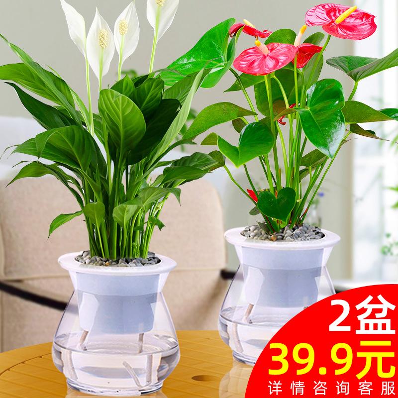 红掌盆栽白掌植物室内花卉观花四季开花不断一帆风顺鸿运当头绿植