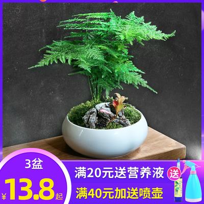 文竹盆栽植物室内花卉办公室桌面绿植好养四季常青景观竹子小盆景