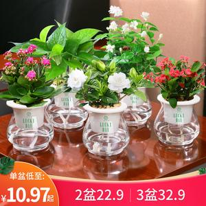栀子花茉莉花盆栽花卉植物室内水养绿植绿萝水培多肉植物驱蚊草