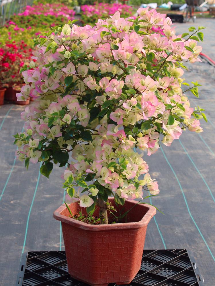 巴西三角梅盆栽苗爬藤庭院带花发货四季印度画报绿樱重瓣红漳红樱