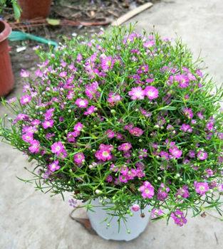 满天星花苗进口小叶四季盆栽花卉