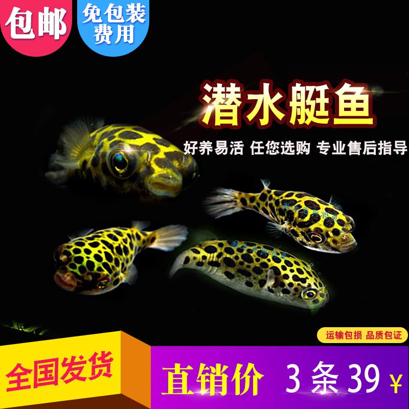 巧克力娃娃潜水艇鱼河豚鱼斑马狗头淡水观赏除螺草缸蜗虫热带包活