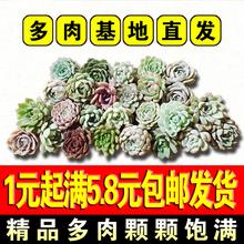 1元多肉植物組合套餐小盆栽花卉綠植室內超萌多肉滿5.8元包郵發貨