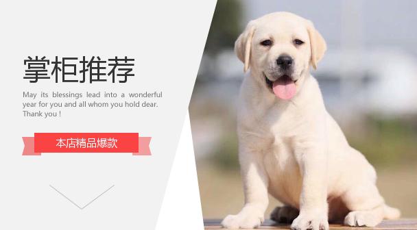 纯种拉布拉多幼犬导盲犬神犬小七活体金毛幼犬高智商宠物狗活幼体图片