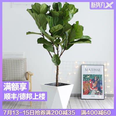 琴叶榕橡皮树室内客厅办公室绿植大型植物盆栽净化空气大叶真花卉