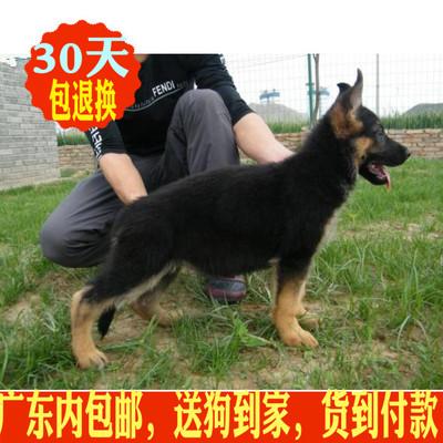 德国牧羊犬幼犬纯种出售黑背锤系弓背大型犬家养血统活体赛级狼狗