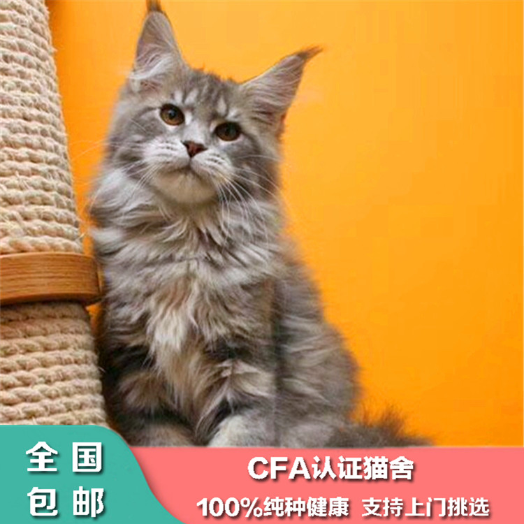 Purebred Maine cat sold in Guangzhou live domestic giant pet cat purebred Silver Tiger spotted brown tiger Maine Kuhn cat