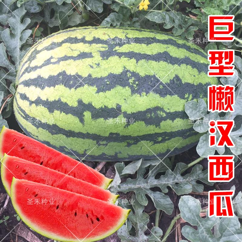 巨型懒汉西瓜种子少籽巨龙王麒麟王甜王世纪雷王早佳8424超甜高产