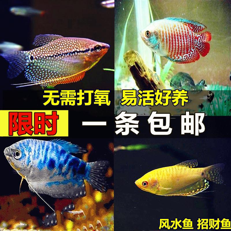 蓝曼龙鱼丽丽鱼黄曼龙鱼吃蛋白虫观赏鱼活体鱼淡水鱼新手鱼包邮