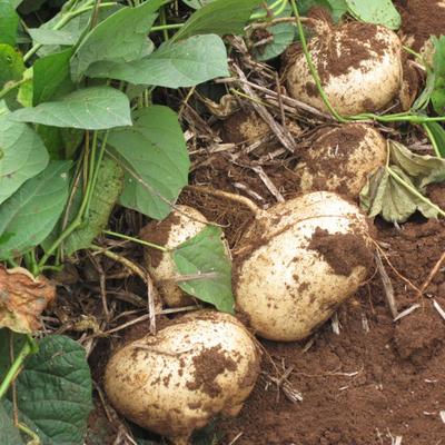 牧马山地瓜种子 水果地瓜种籽 沙葛凉薯土瓜农家四季盆栽凉如凉茹