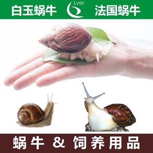 白玉蜗牛活物法国蜗牛饲养土营养土用品宠物观赏学生教学蜗牛饲料