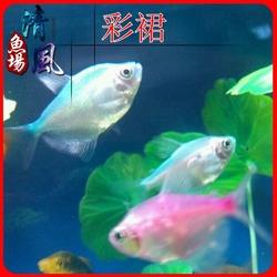 彩裙鱼彩旗鱼淡水热带鱼观赏鱼水族活体鱼接吻鱼小型宠物鱼彩虹鱼