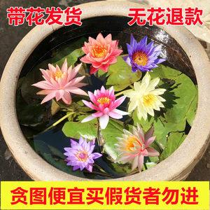 池塘根块花苗水培植物水养带花睡莲