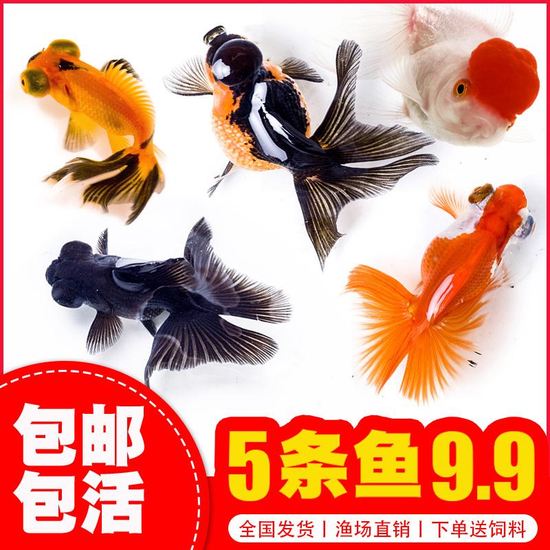 金鱼活体观赏鱼活体小金鱼冷水鱼锦鲤鱼金鱼苗活体淡水小型鱼包邮