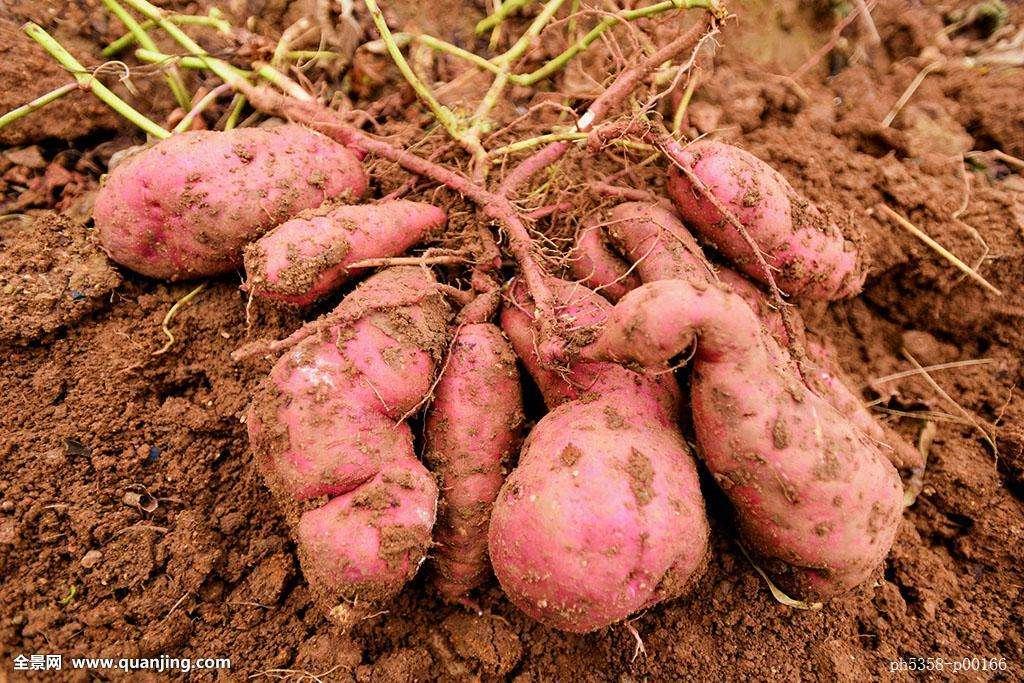 永修特产八角岭2017年新鲜现挖5斤黄土红心番薯农家自种有机肥料