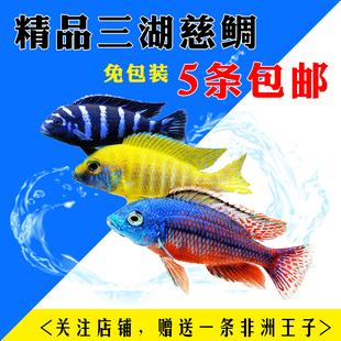 三湖慈鲷岩栖马鲷活体非洲王子蓝阿里热带鱼淡水鱼亚成体慈鲷包邮