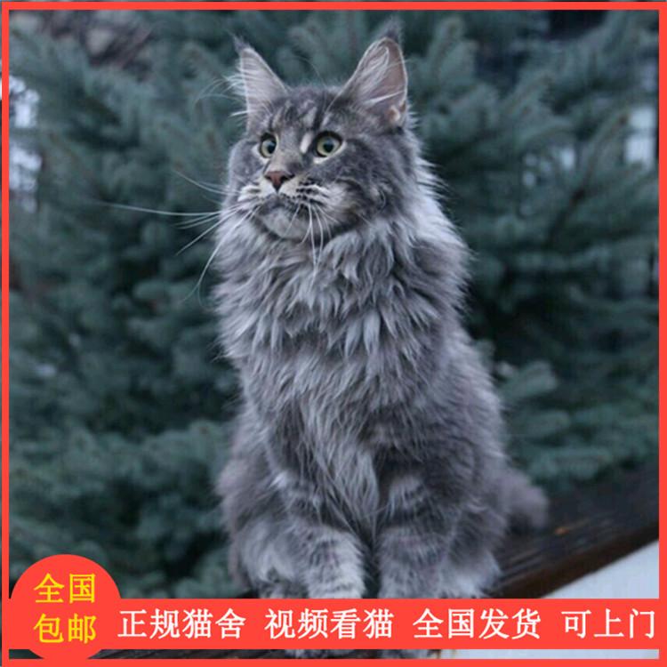 缅因猫 挪威森林猫 活体 幼猫 巨型猫 纯种银虎斑 红黑 红虎斑色图片