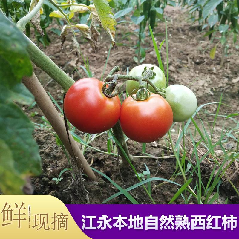 西红柿新鲜现摘江永自种自然熟非转基因湖南番茄水果生吃农家5斤