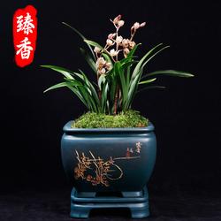 兰花苗金荷建兰小盆栽植物四季好养带花苞名贵荷瓣浓香室内花卉