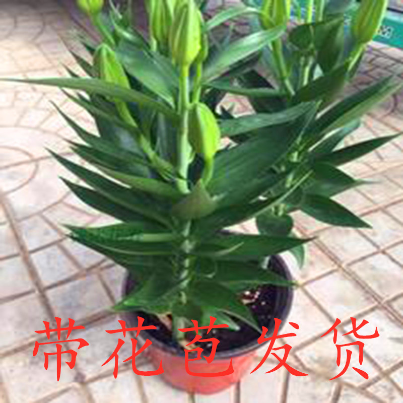 Promotion of Asian potted indoor balcony, flowers, flowers, flowers, flowers, flowers, perfume, lily, flowers and plants.