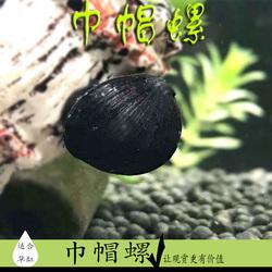 黑金刚螺草缸除藻助手观赏螺黑军帽螺清洁工具螺热带活体黑杀手螺