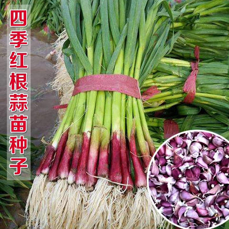 红根蒜苗种子香蒜硬叶蒜苗一年三茬连续种植四季阳台盆栽蔬菜种籽