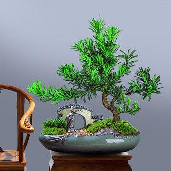 雀舌罗汉松盆景室内客厅办公室好养四季常青造型盆栽植物净化空气