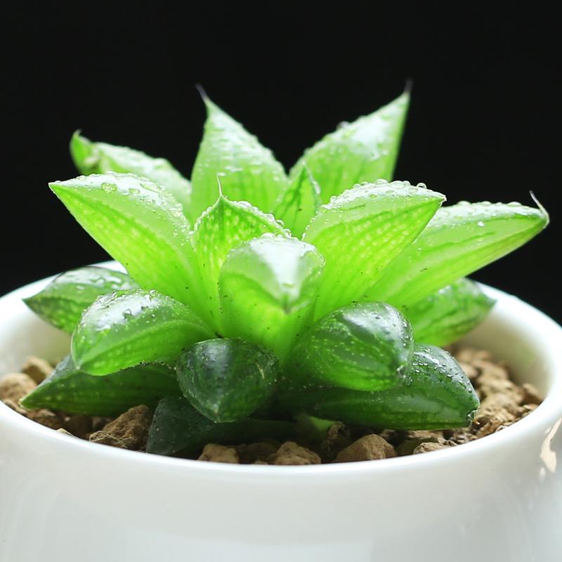 壹分皿玉露寿肉肉植物十二卷多肉植物居家办公室桌面花卉绿植盆栽