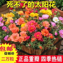Double petal sunflower seeds four seasons sunflower seeds single balcony multicolored indoor and outdoor potted flower seeds star MINT