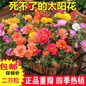 领2元券购买重瓣四季太阳花种孑阳台太阳花种子