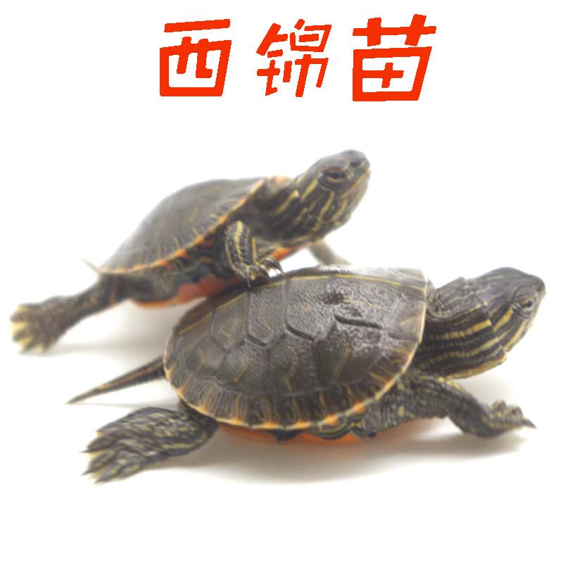 八戒姐姐18年头苗西锦龟东锦龟南锦龟乌龟观赏龟宠物龟活体水龟16.80元包邮