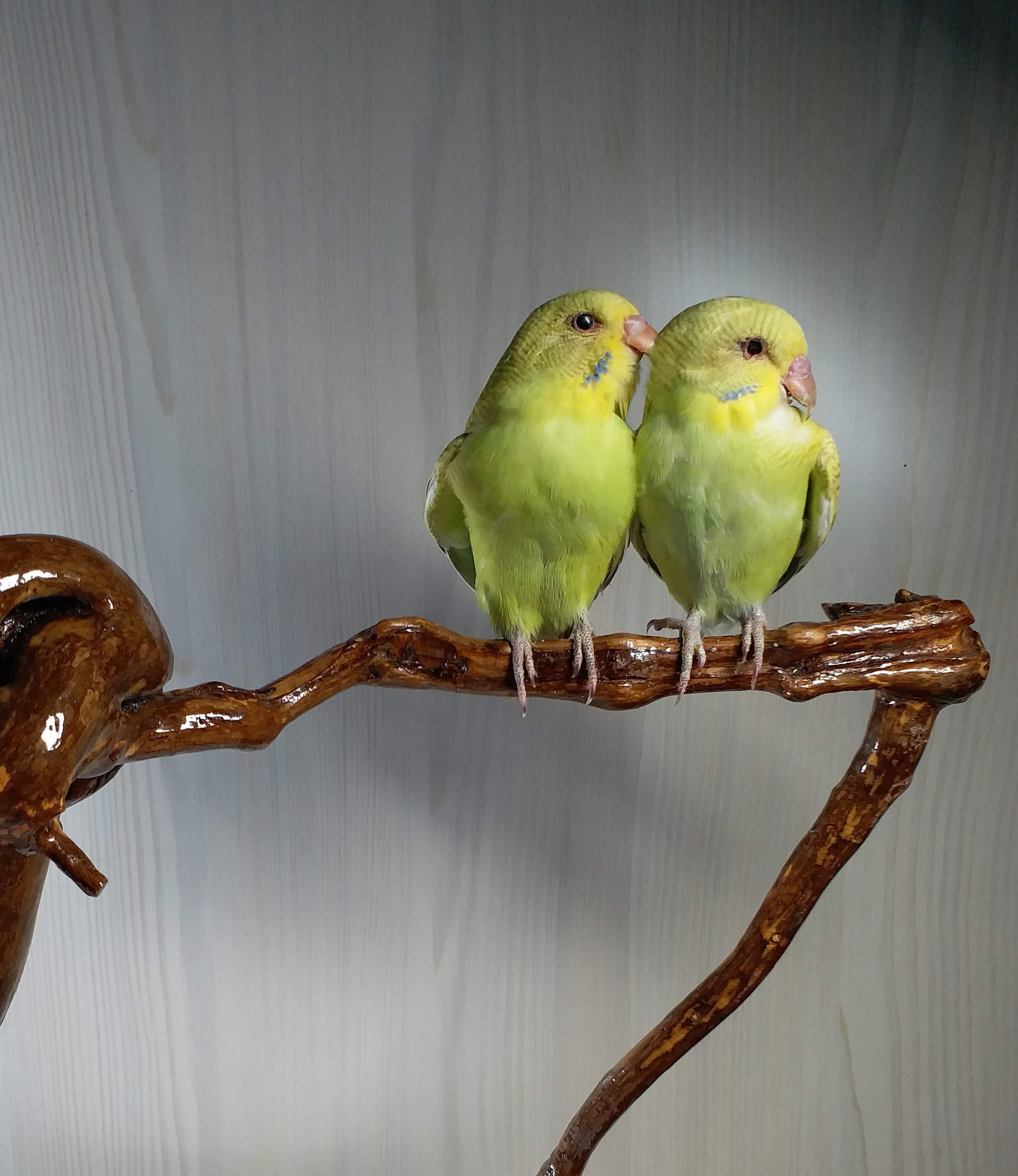 Teaching specimens birds parrot specimens pigeon specimens pearl specimens home window ornaments decorative crafts