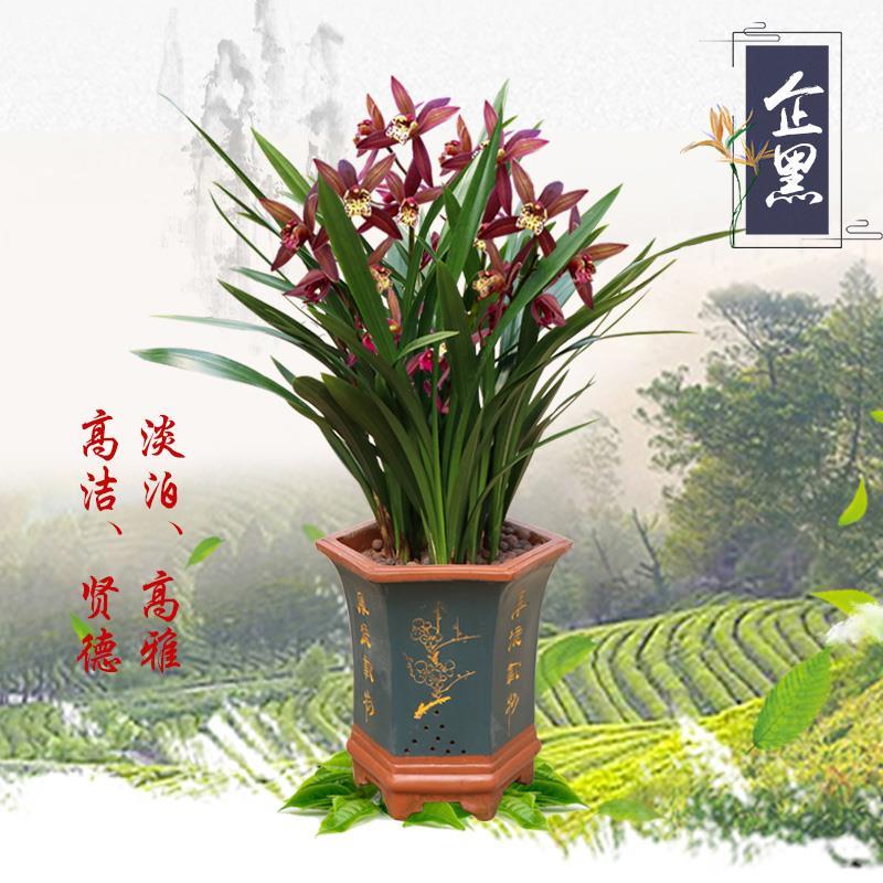 兰花盆栽 红将军 花卉绿植室内花四季建兰好养植物兰草名贵兰花苗