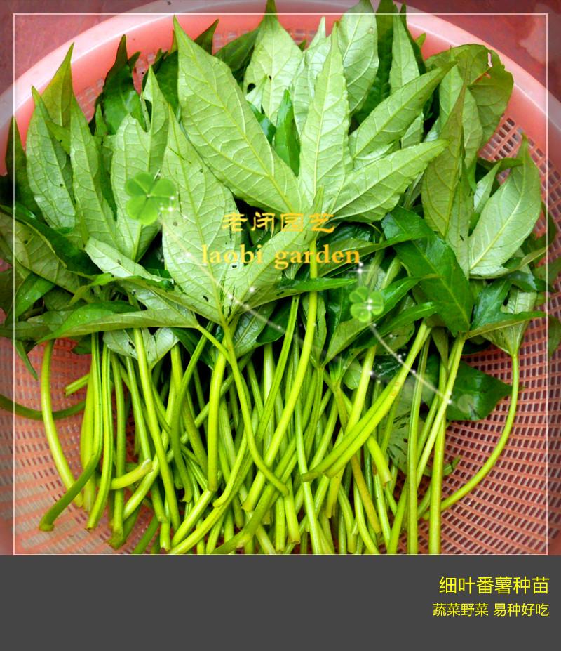 细叶番薯枝条和种苗 本地原生品种地瓜叶红薯叶蔬菜野菜盆栽