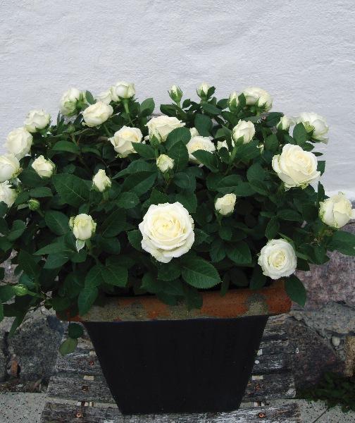 无限永远 月季花苗包对版 阳台盆栽四季开花植物花卉玫瑰耐热耐晒