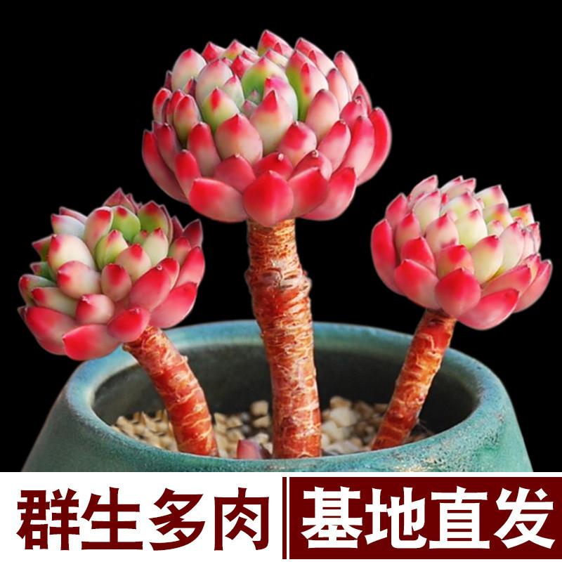 多肉植物组合盆栽室内仙人掌仙人球虹之玉多头含盆带土超大颗好养