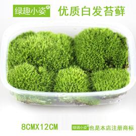 鲜活白发藓 苔藓微景观生态瓶DIY水陆雨林缸造景耐阴植物短绒青苔